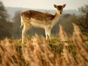 A Young Hind - Powderham House deer park
